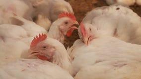 Chickens sick in farm