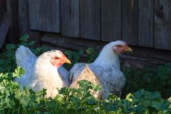 Chickens sit resting in green grass in the shade stock photo