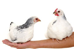 Chickens sitting on arm Stock Photos