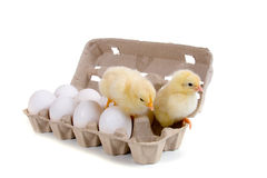 Chickens sitting on eggs Royalty Free Stock Photos