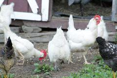 Chickens. Small flock of chickens in the summer time stock images