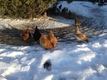 Chickens in the snow. A flock of chickens walking and eating in the snow in the winter Stock Images