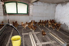 Chickens in the stable Royalty Free Stock Image