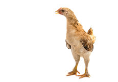 Chickens is standing and looking Stock Photos