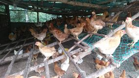 Chickens that stays in a chicken coop. This picture is taken inside a typical chicken coop and the hens leaving within stock images