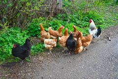 Chickens on the road near green grass stock photography