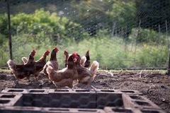 Chickens sunning in backyard Coop. Chickens waiting for food in a backyard coop for home grown eggs. Great for breakfast eggs in the morning or cooking with royalty free stock photography