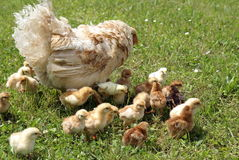 Chickens with their mother. Chicken with their chickens on grass royalty free stock images