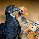 Chickens Royalty Free Stock Photos