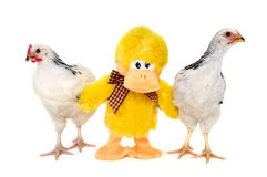 Chickens and toy duck Royalty Free Stock Image