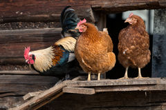 Chickens on traditional farm Stock Images