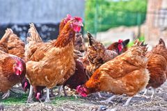 Chickens on traditional free range poultry farm.  royalty free stock photography