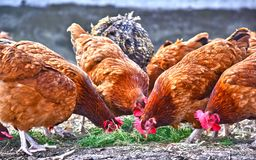 Chickens on traditional free range poultry farm.  stock image
