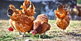 Chickens on traditional free range poultry farm.  royalty free stock image