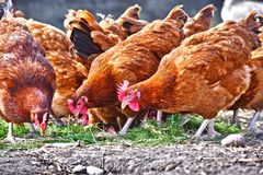 Chickens on traditional free range poultry farm royalty free stock photography