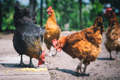 Chickens on traditional free range poultry farm. Chickens on traditional poultry farm royalty free stock photography