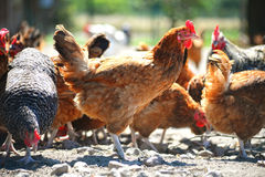 Chickens on traditional free range poultry farm Stock Photography
