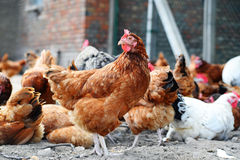 Chickens on traditional free range poultry farm Royalty Free Stock Image