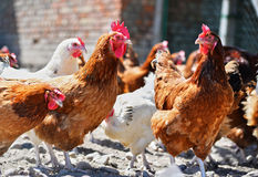 Chickens on traditional free range poultry farm Royalty Free Stock Images