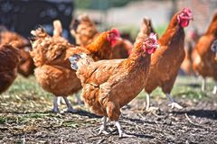 Chickens on traditional free range poultry farm.  royalty free stock photos