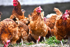 Chickens on traditional free range poultry farm Stock Photos