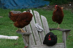 Chickens on chair. Various pictures of my flock of free range chickens Stock Image