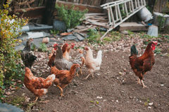 Chickens in village Stock Photo