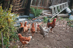 Chickens in village. A lot of chickens in the yard in the village Royalty Free Stock Photography