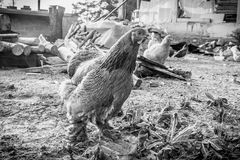 Chickens. In the village. Monochrome photo royalty free stock photos