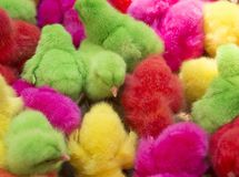 Little chicks are crowded./Fancy chicks. Chickens waiting to be sold to farmers to feed Stock Images