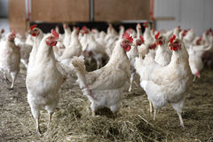 Chickens walking around in barn Royalty Free Stock Images