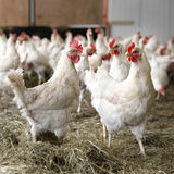 Chickens walking around in barn Stock Photography