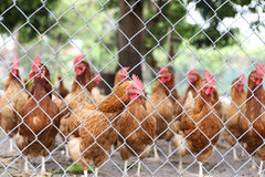 Chickens walking around in a farm royalty free stock photo