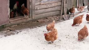 Chickens walking on snow. Chickens walking on the background snow chicken coop barn stock video