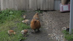 Chickens walking stock footage