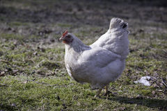 Chickens walking in the country farm.  stock images