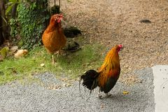 Chickens are walking for food. At farm royalty free stock photo