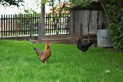 Chickens walking in the green grass and looking for something to eat. Multicolored happy chicken Royalty Free Stock Image