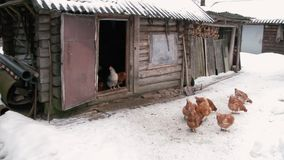 Chickens walking on snow. Chickens walking on the background snow chicken coop barn stock footage