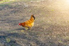 Chickens walking in the yard. Chickens walk in the yard with a rooster. motley hens peck pasture. Domestic bird stock image