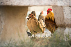 Chickens was finding for food outside hen-house Stock Photo