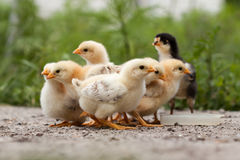 Chickens Royalty Free Stock Images