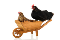 Chickens on wheel barrow. Chickens resting on wheel barrow isolated over white background royalty free stock images