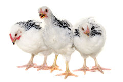 Chickens on white background. Chickens is standing and looking. Isolated on a white background royalty free stock images