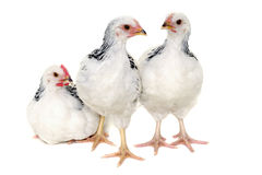Chickens on white background Stock Photography