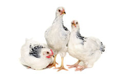 Chickens on white background. Chickens is standing and looking. Isolated on a white background stock image