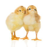 Chickens on white background Stock Photo