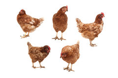 Chickens on a white background. Five chickens in different poses on a white background Stock Images
