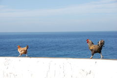 Chickens on white wall - Cabo Verde. Chicken and cock on white wall and blue sky - Fogo Island - Cabo Verde, Sao Filipe town Royalty Free Stock Photo