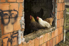 Chickens on the window Royalty Free Stock Photography